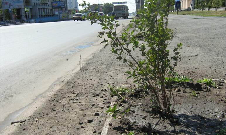 Два подрядчика из Челябинска не могут заменить погибшие деревья из-за того, что у них нет посадоч