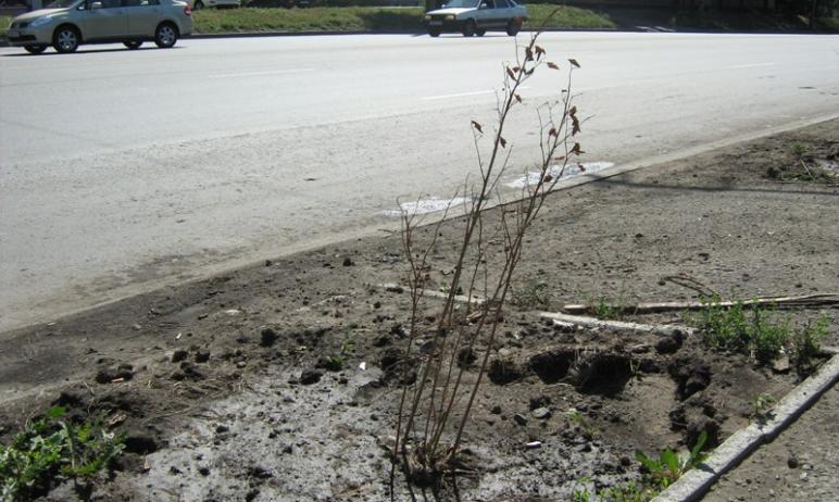 В Челябинске не прижилось 388 деревьев и кустарников, высаженных на прилегающих к улично-дорожной