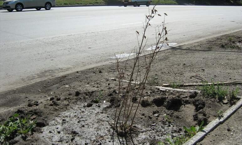 На прошлой неделе подрядчики в Челябинске должны были заменить часть погибших деревьев и кустарни