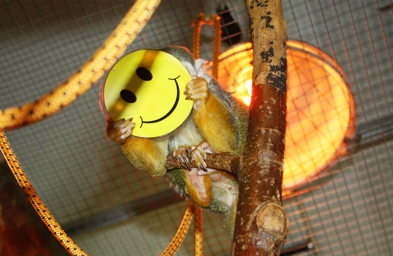 Как рассказали в зоопарке, этот праздник Смайл отметил со своими двумя самочками Мини и Зарой, а
