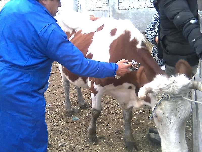В Челябинскую область пришел нодулярный дерматит крупного рогатого скота, считающийся одним из са