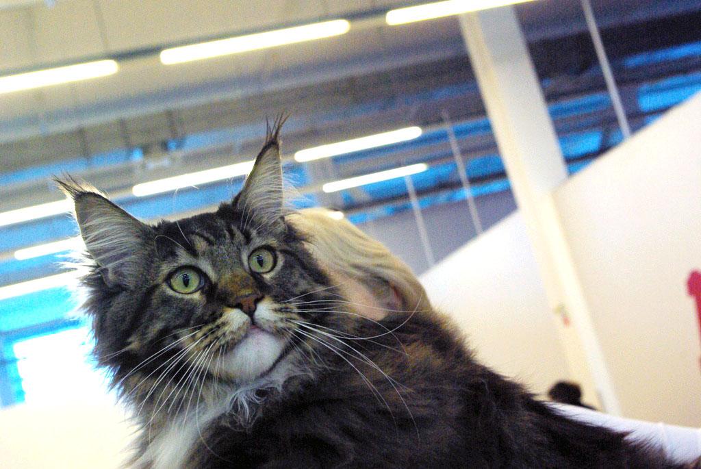 В Челябинске состоялась международная выставка кошек «День Рождения Зайки-кёрл». Кошки на