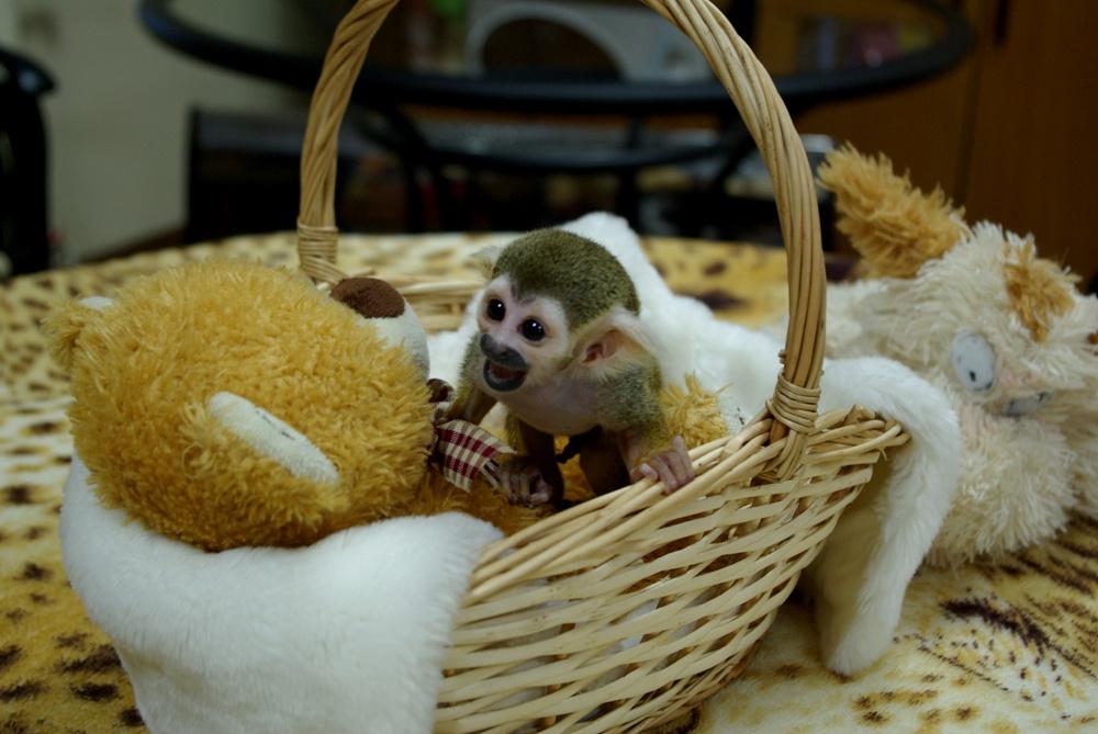 В челябинском зоопарке две самки саймири принесли потомство от самца Смайла. Ветреная мамаша Зара