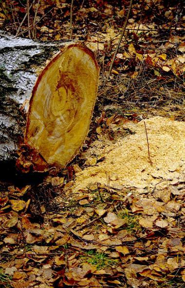 Жители Челябинска наказаны за самовольную вырубку ясеней, тополей и лиан, а также незаконную прод