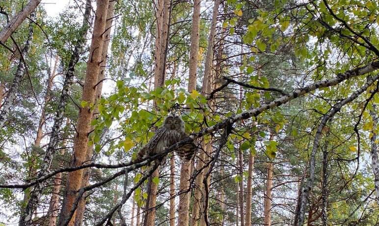 Две молодые дикие совы – уральская неясыть и ушастая болотная сова – вчера, 18-го сентября, обрел