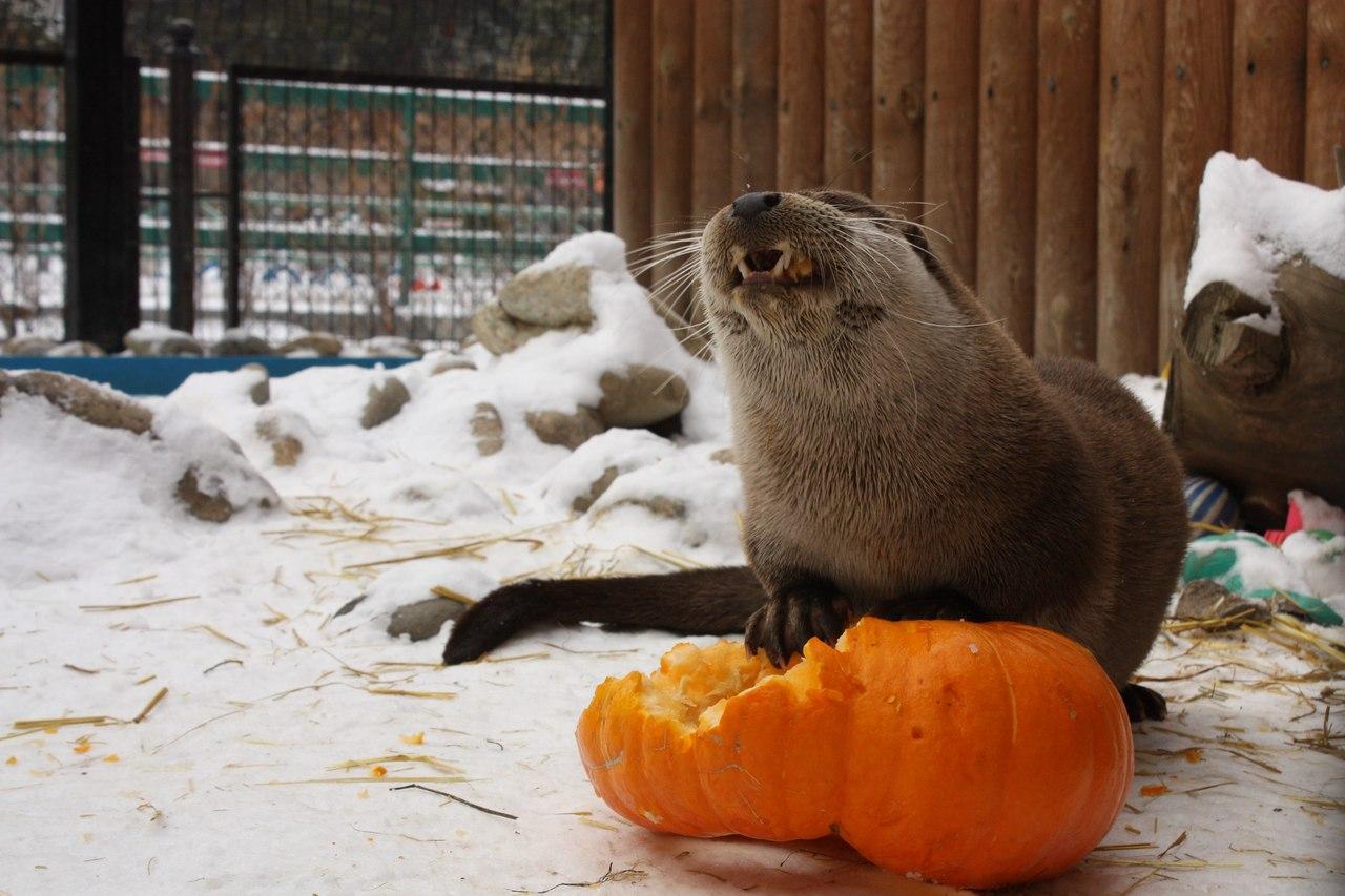 Челябинский зоопарк приглашает горожан принять участие в тыквенном фуршете. Трапезу со зверями ра