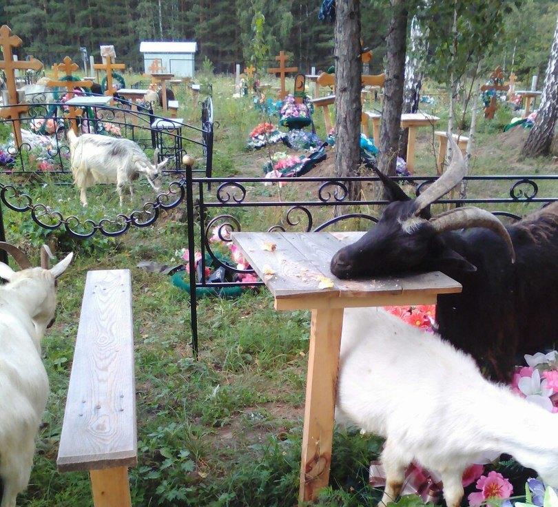 Кладбище, которое облюбовали козы, находится недалеко от деревни «Северные печи». Предположительн