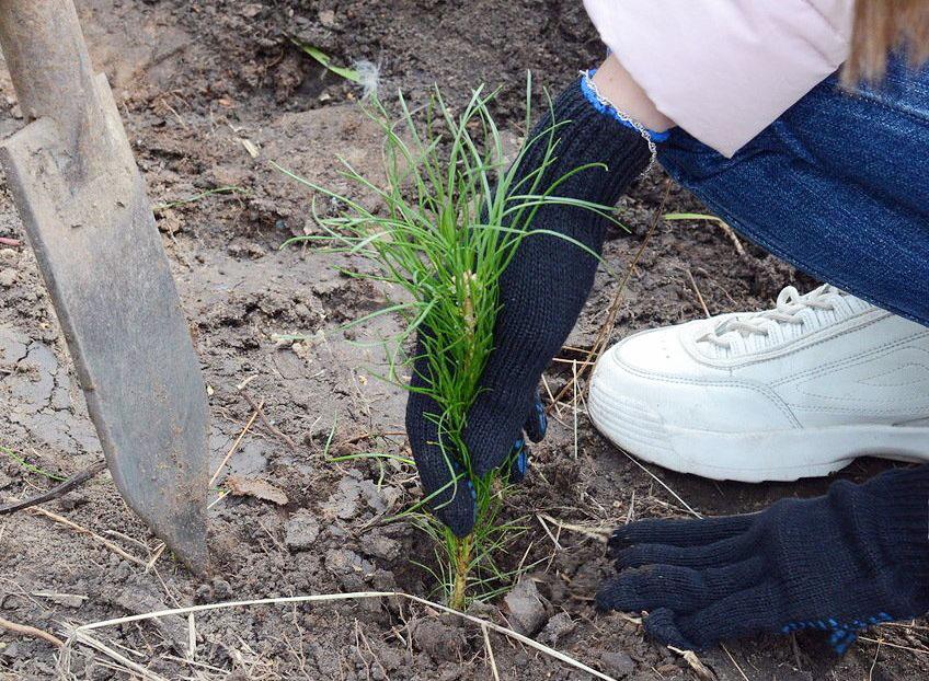 В Челябинской области на месте сгоревшего леса у поселка Кременкуль высадили более трех тысяч сея