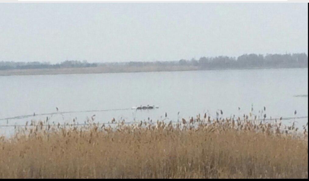 Сообщение о замерзающих лебедях появилось в социальных сетях. «На озере Саламатка, что у п