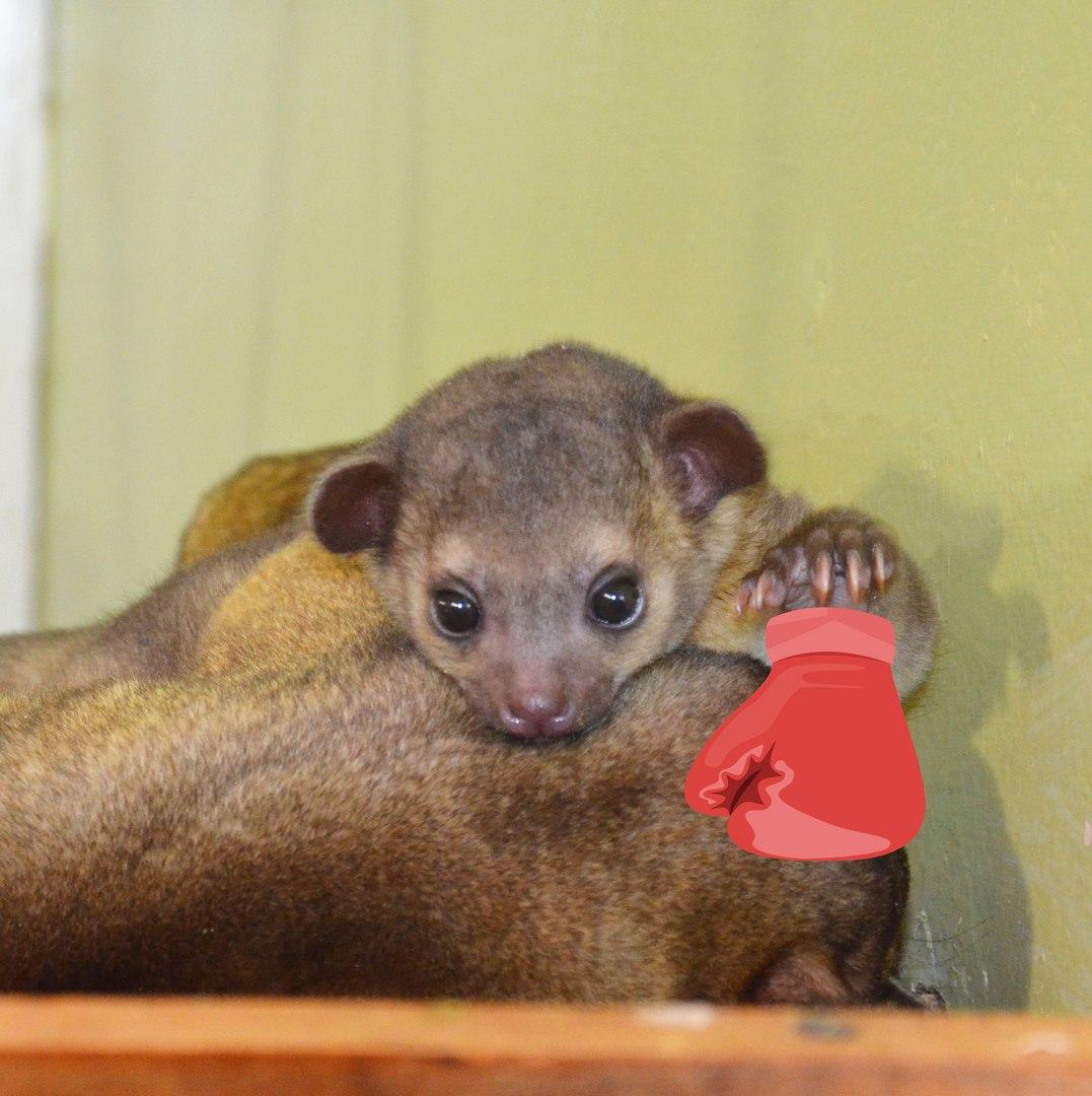 «Помните, недавно в нашем зоопарке родился малыш кинкажу и мы дружно выбирали ему имя? Одним