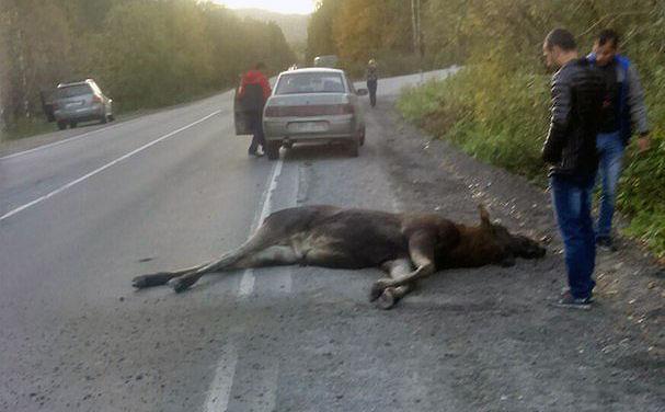 ДТП произошло накануне вечером на автодороге Златоуст-Миасс. На дорогу внезапно выбежал лось и бы