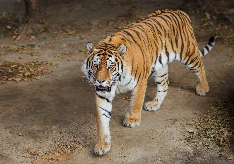 Челябинский зоопарк приглашает горожан на празднование международного дня тигра. В городском звер