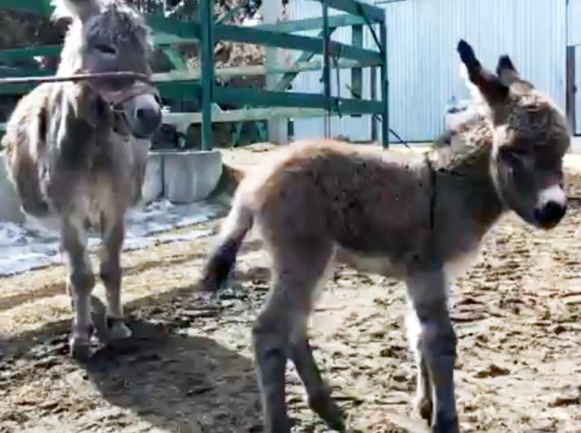 В челябинском зоопарке – пополнение: супружеская пара осликов по имени Ириска и Славик стали роди
