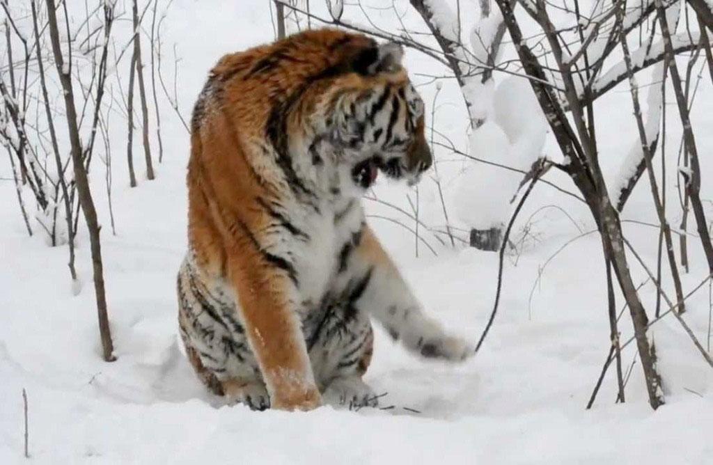 В Челябинске в честь юбилея символа сборной России по дзюдо и самого знаменитого тигра страны - Ж