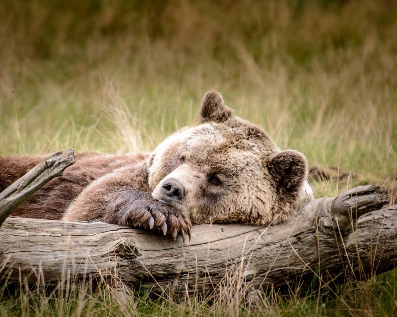 В Челябинской области установили лимит добычи барсука и бурого медведя в предстоящий сезон охоты