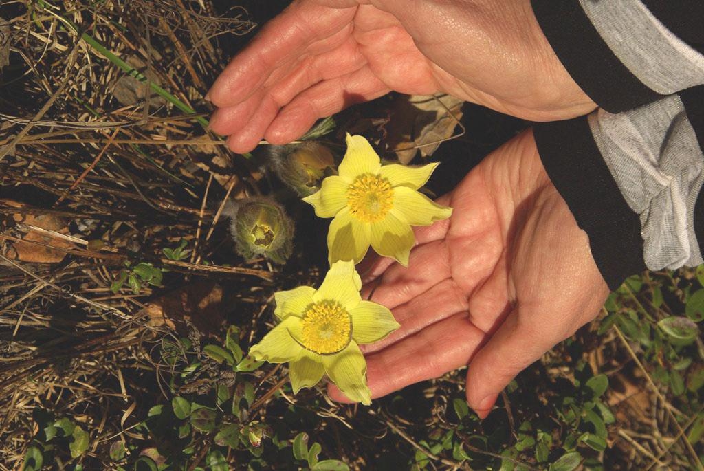 Первоцветы - это раннецветущие растения, зацветающие самой ранней весн