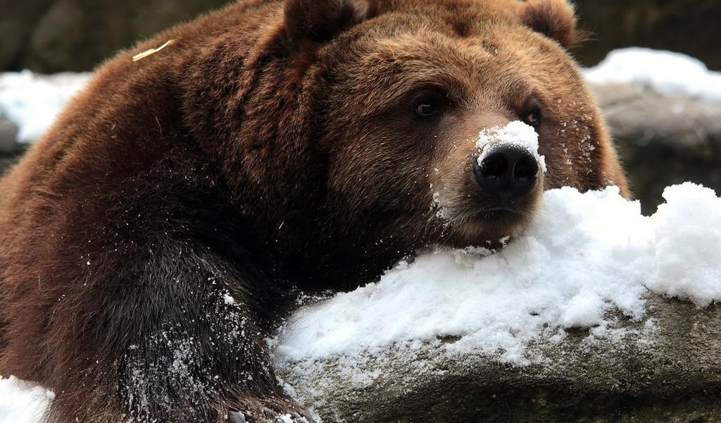 В Озерске (Челябинская область) медведь, которого местный житель подобрал в лесу несколько лет на
