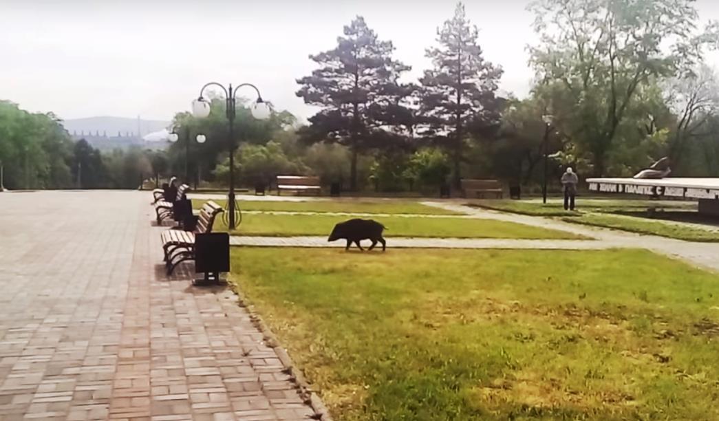 В этот раз очевидец заснял лесную свинью прямо в центре у памятника первостроителям «Первая палат
