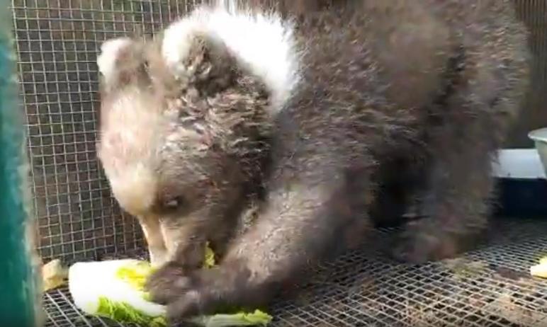 Спасенный в Челябинской области медвежонок Умка сегодня, 30-го апреля, летит в Хабаровск.