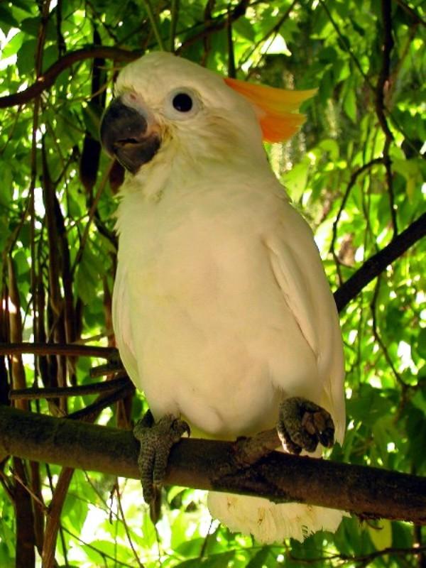 Белоснежный попугай с оранжевым хохолком по кличке Триша – достаточно редкий подвид малого