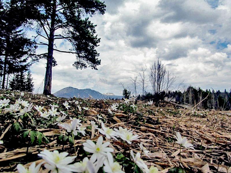 В национальном парке «Таганай» (Челябинская область) вчера, 19-го апреля, в свой праздник зацвели