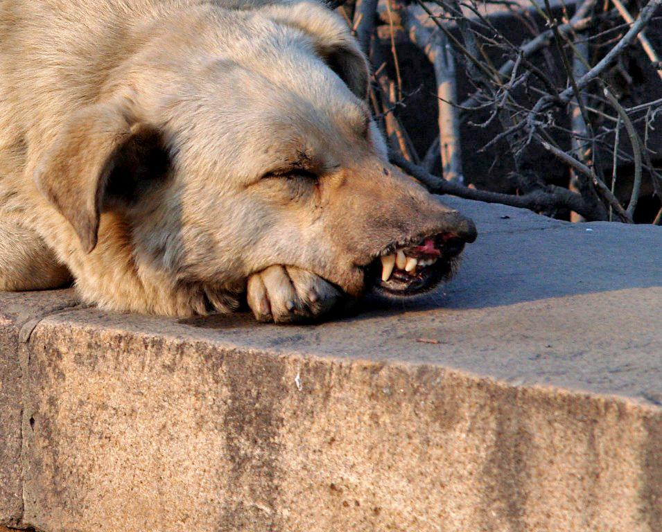 В Челябинской области - новые случаи бешенства. 27-го мая зараженное животное появилось в поселке