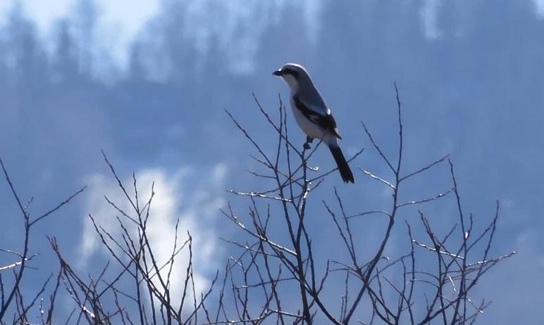 В национальном парке «Таганай» на веточке дерева заметили серого сорокопута из отряда воробьинооб