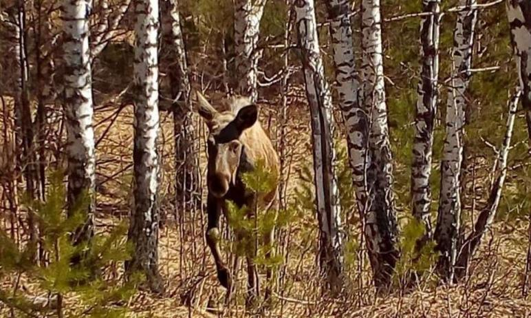 В Челябинской области в национальном парке «Зигальга» к людям вышел лось. Специалисты объясняют т