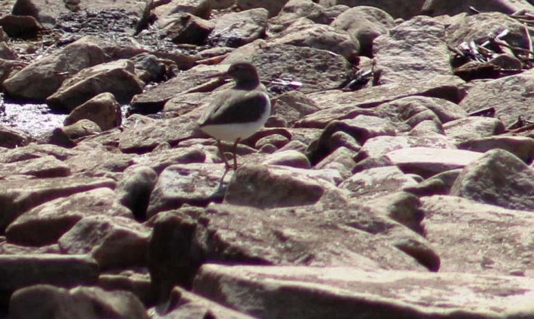 В Челябинской области в национальный парк «Таганай» прилетела чайка-хохотунья. Она поселилась на