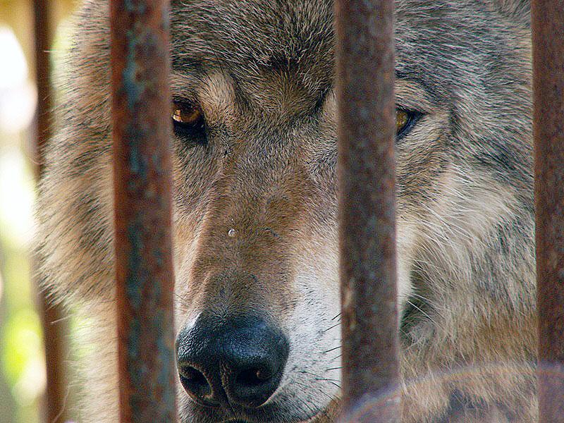 В Челябинской области пересчитали диких животных. В регионе резко выросло количество волков.