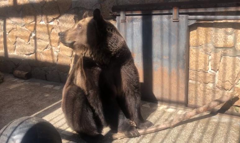 Обворожительная косолапая обитательница челябинского зоопарка - медведица Бусинка - замечена за з