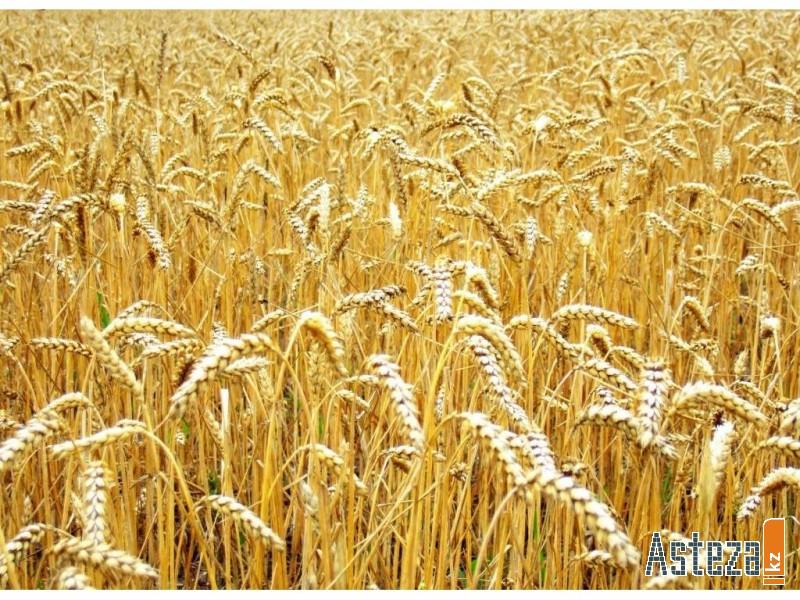 В нынешнем, особенно сложном для селян по погодным условиям году, планируется собрать около одно