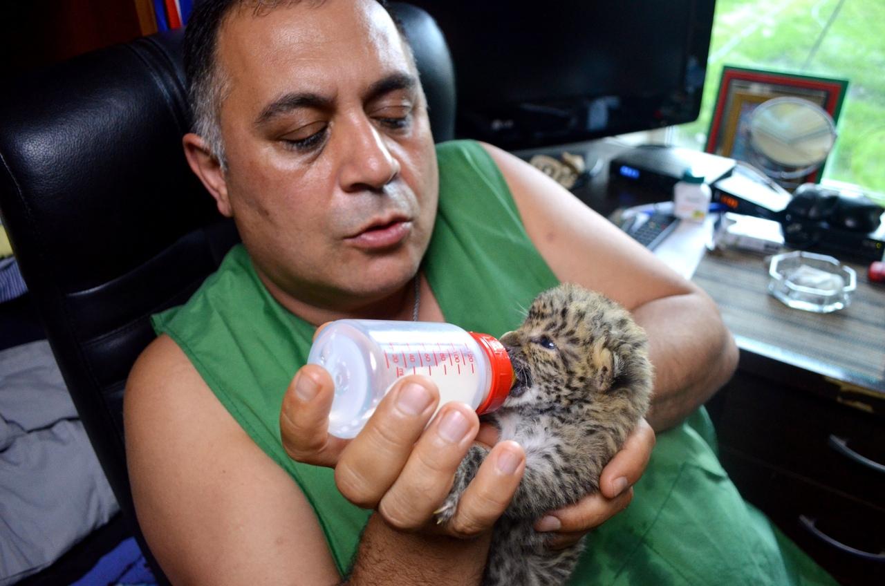 Спасенная в Челябинске малышка Ева, новорожденный котенок леопарда, приходит в себя. В приюте для