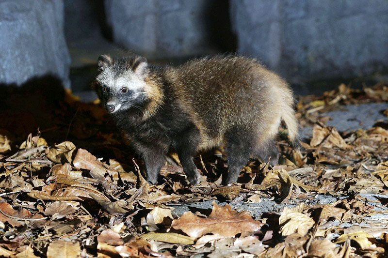 Челябинские спасатели сегодня ночью, 30 октября, ловили на цинковом заводе лесного зверя.