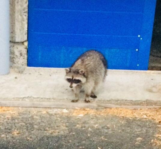 Жители города Озерска (Челябинска область) обнаружили на улице Монтажников дикого зверя – енота.