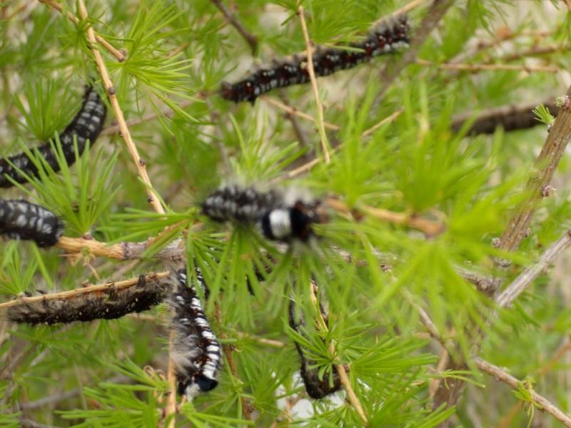 Как сообщает пресс-служба Россельхознадзора, бабочки опасного вредителя обнаружены в феромонных л