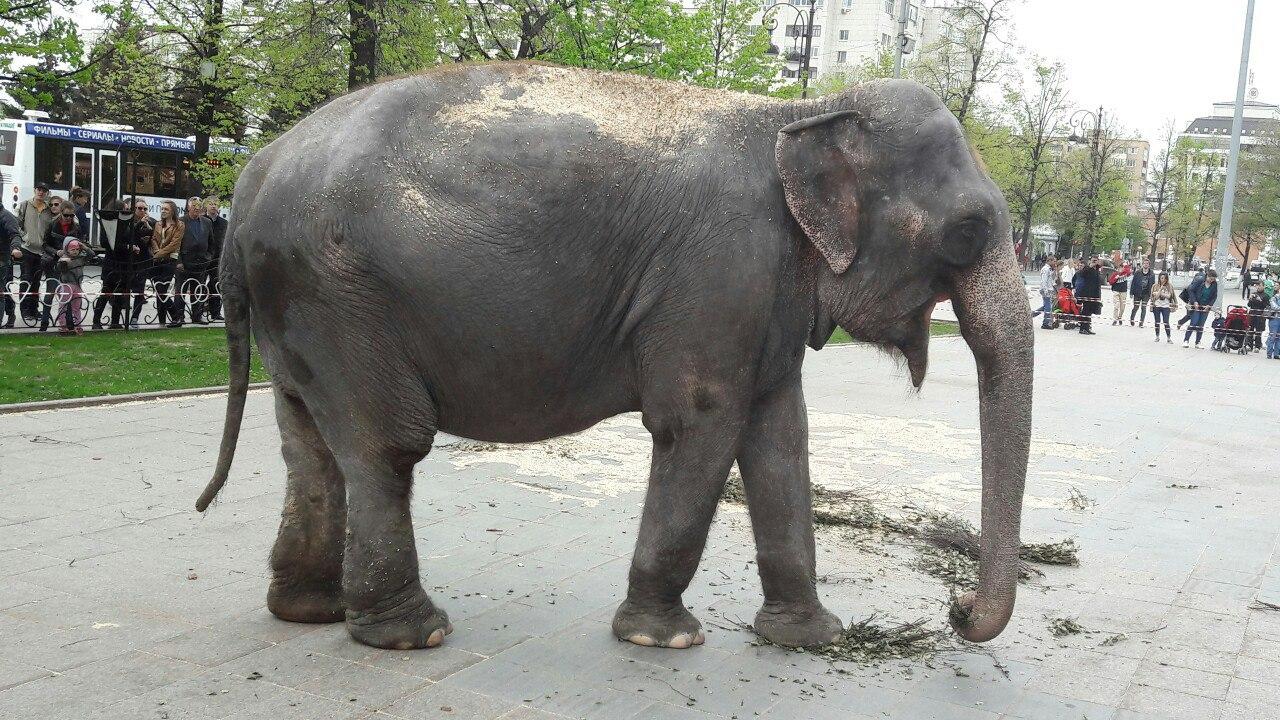 Как сообщается на официальной странице парка Гагарина ВКонтакте, в среду, 14 июня, слоны пройдут