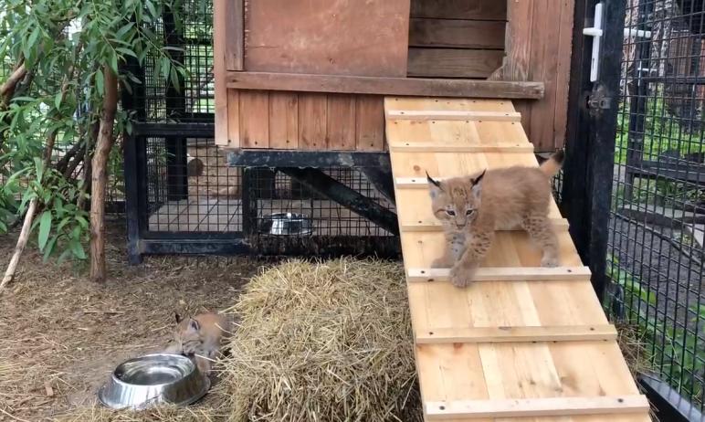 В Челябинском зоопарке 16 мая у рысей Персей и Полинка (Пятнышко) впервые родились двое рысят. Ма