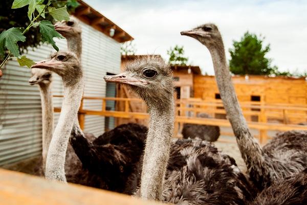 Как сообщили агентству «Урал-пресс-информ» в библиотеке, страусзоопарк подготовит для ребят прогр