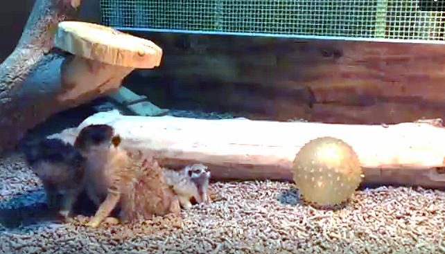 В Челябинске растет число сурикатов. Теперь в зоопарке их 11: шесть взрослых особей и пять новоро