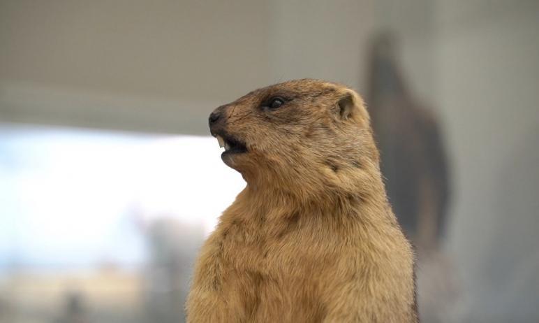 Сегодняшний день, 2 февраля, считается Днем сурка. В Историческом музее в Челябинске об этой дате