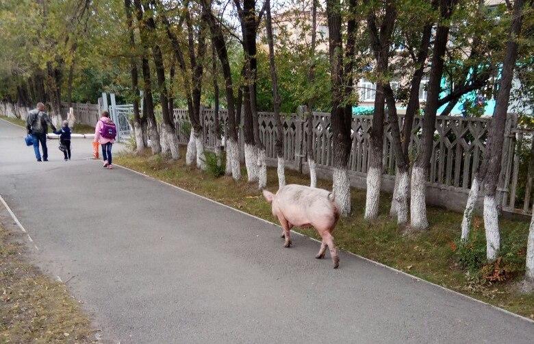 На фото видно, что огромная свинья свободно гуляет по улицам Челябинска. По словам очевидцев, это
