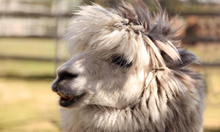 Красавец-альпака Еремей из челябинского зоопарка нуждается в услугах парикмахера. Сотрудники муни