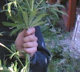 По информации пресс-службы областной прокуратуры, сотрудники наркоконтроля собрали с территории с