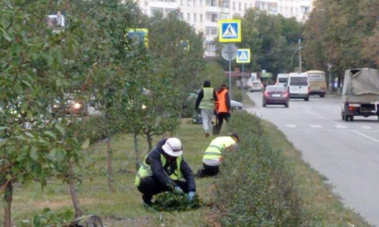 В Челябинске подходят к концу работы по высадке новых кустов кизильника на разделительном газоне