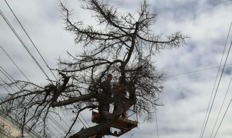 В Челябинске погибла одна из трех последних даурских лиственниц. Сегодня, первого июня, аварийное