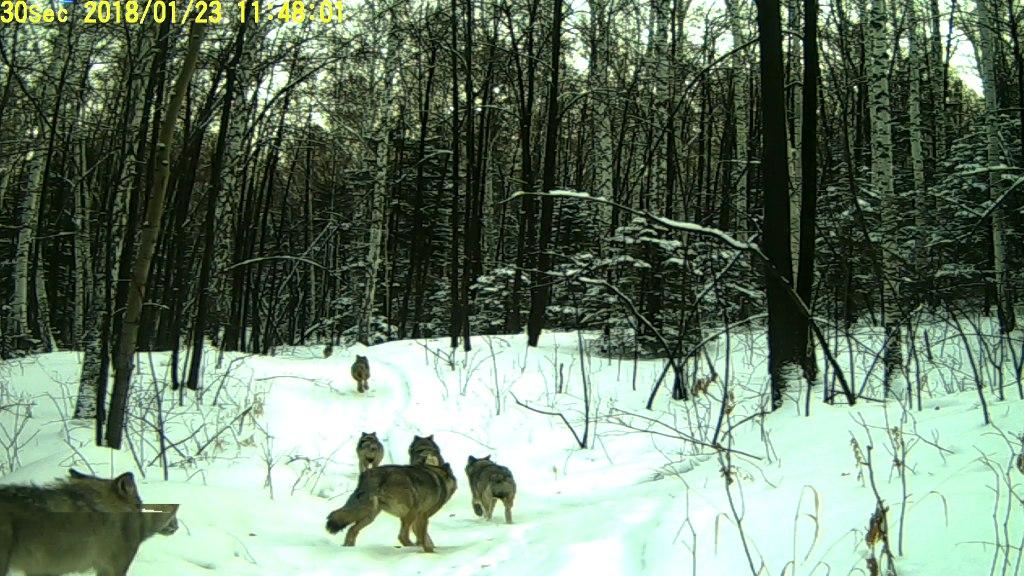 Как рассказали агентству «Урал-пресс-информ» в пресс-службе нацпарка, восемь волков облюбовали тр