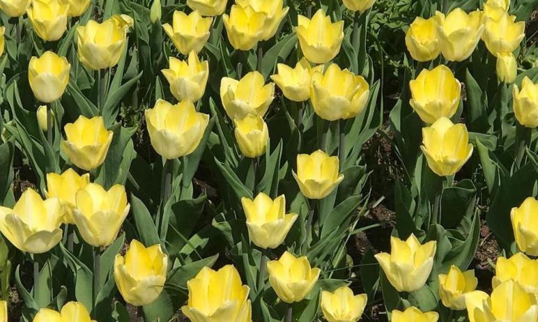 В Челябинск вернулись тюльпаны. Прекрасные, благородные цветы высажены в скверах на Тернопольской
