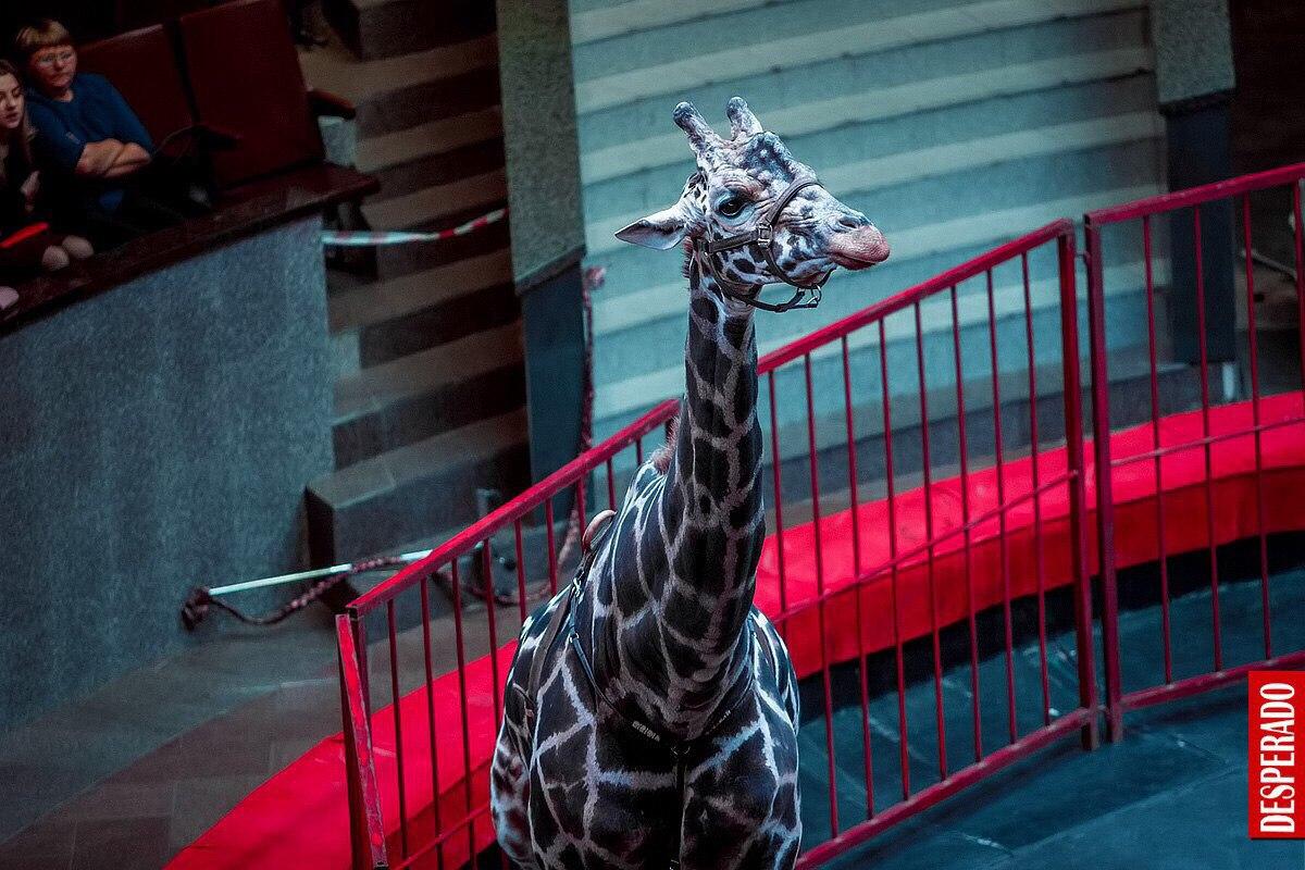 На арене челябинского цирка с 16 декабря и до конца новогодних каникул можно будет увидеть семиме
